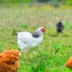 Life Lessons From Chickens